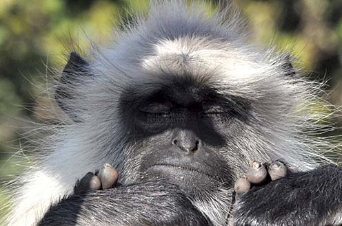 Wildlife- Gray or Common Indian Langur (India) - Close-up of a black footed Gray or common Langur (Semnopithecus hypoleucos) in sleepy mood at Bhopal, Madhya Pradesh, India. by Anil