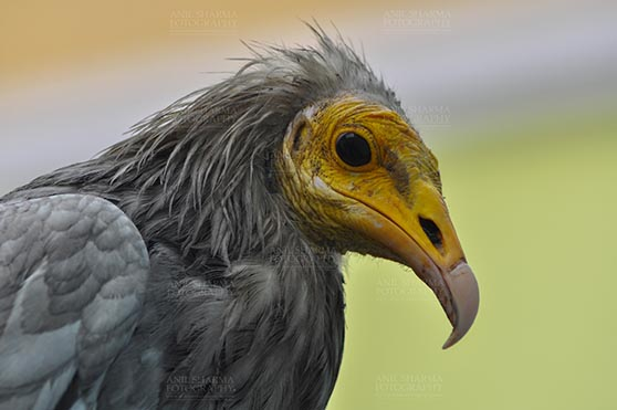 Birds- Egyptian Vulture (Neophron percnopterus) - Egyptian vulture, Aligarh, Uttar Pradesh, India- January 21, 2017: Close-up of an adult Egyptian Vulture lwith light green background at Aligarh, Uttar Pradesh, India. by Anil