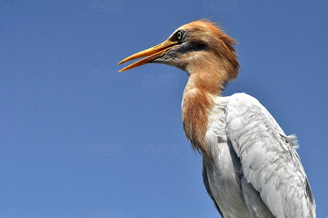 Birds- Cattle Egret (Bubulcus ibis) - Noida, India- September 4, 2013: Cattle Egret (Bubulcus ibis) close-up of head during breeding season with orange pullme on its head and back at Noida, Uttar Pradesh, India. by Anil Sharma Fotography