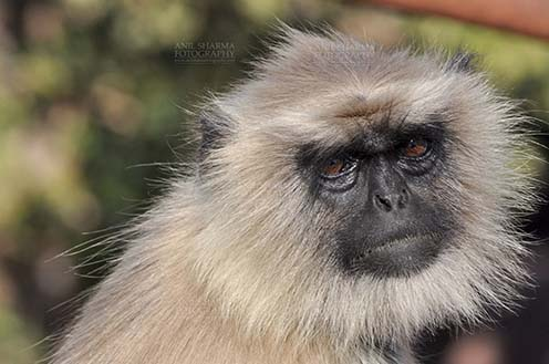 Wildlife- Gray or Common Indian Langur (India) - Close-up of an old female black footed Gray Langur (Semnopithecus hypoleucos) sitting on a tree branch at Bhopal, Madhya Pradesh, India. by Anil