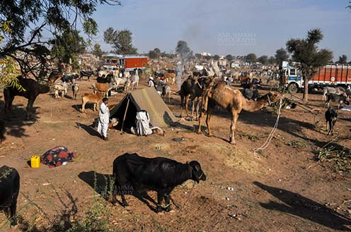 Fairs- Nagaur Cattle Fair (Rajasthan) - Nagaur, Rajasthan, India- Febuary 10, 2011: Farmers with their camels, cows and baffalos to sale them at Nagarur cattle fair, Nagaur, Rajasthan (India). by Anil