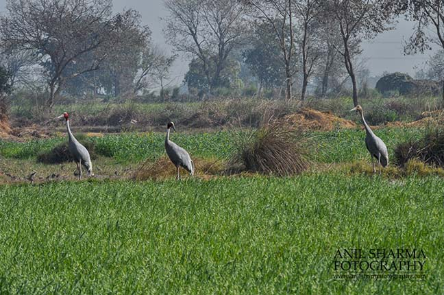 Birds- Sarus Crane (Grus Antigone) - A Sarus Crane family, Grus Antigone (Linnaeus) in an agricultural field at Dhanauri wetland, Greater Noida, Uttar Pradesh, India. by Anil