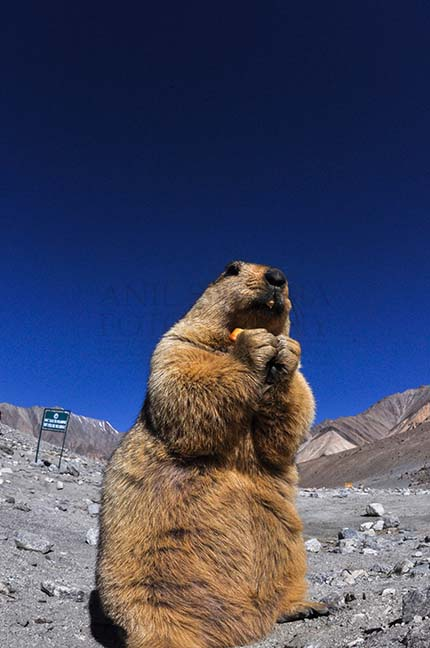 Wildlife- The Himalayan Marmots, J \x26 K (India) - A young Himalayan Marmots holding crack jack biscuit with both hands at Leh, Jammu and Kashmir, India. by Anil
