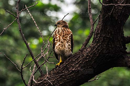 Birds- Shikra Accipiter badius (Gmelin) - Shikra, Noida, Uttar Pradesh, India- August 15, 2013: A hungry Shikra sitting on a tree branch at Noida, Uttar Pradesh, India. by Anil