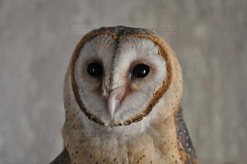 Birds- Barn Owl Tyto Alba (Scopoli) - Close-up of Barn Owl Tyto Alba (Scopoli) front view showing eyes and beak, Noida, Uttar Pradesh, India. by Anil Sharma Fotography