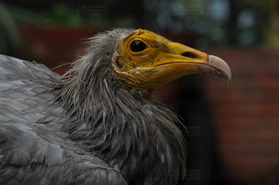 Birds- Egyptian Vulture (Neophron percnopterus) - Egyptian vulture, Aligarh, Uttar Pradesh, India- January 21, 2017:  Close-up of an adult Egyptian Vulture with dark background at Aligarh, Uttar Pradesh, India. by Anil Sharma Fotography