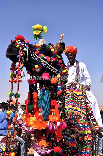 Festivals- Jaisalmer Desert Festival, Rajasthan - Decorated camel for best decorated camel competition at jaisalmer desert fair. by Anil