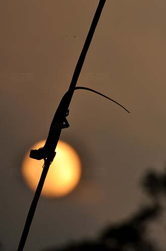 Reptiles- Oriental Garden Lizard - Noida, Uttar Pradesh, India- July 30, 2014: Oriental Garden Lizard or Eastern Garden Lizard (Calotes versicolor) on a wire enjoying sunset scene at Noida, Uttar Pradesh, India. by Anil