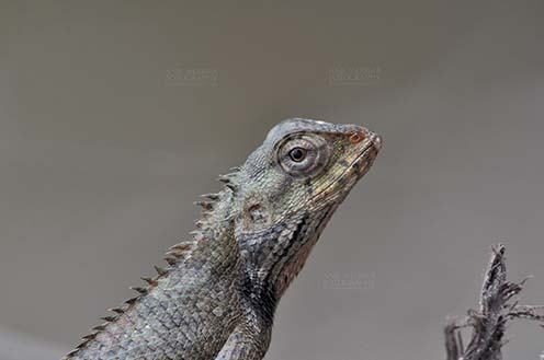 Reptiles- Oriental Garden Lizard - Noida, Uttar Pradesh, India- July 31, 2016: Close-up of an Oriental Garden Lizard, Eastern Garden Lizard or Changeable Lizard (Calotes versicolor) Noida, Uttar Pradesh, India. by Anil