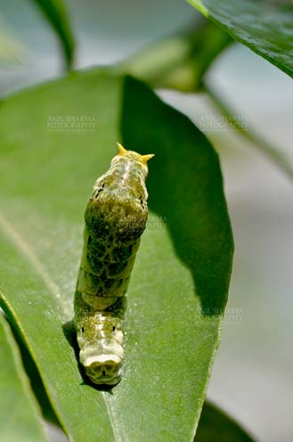 Insects- Caterpillar - Noida, Uttar Pradesh, India- April 6, 2016: Hungry Citrus Swallowtail Butterfly caterpillar on a lemon tree leaf at Noida, Uttar Pradesh, India. by Anil