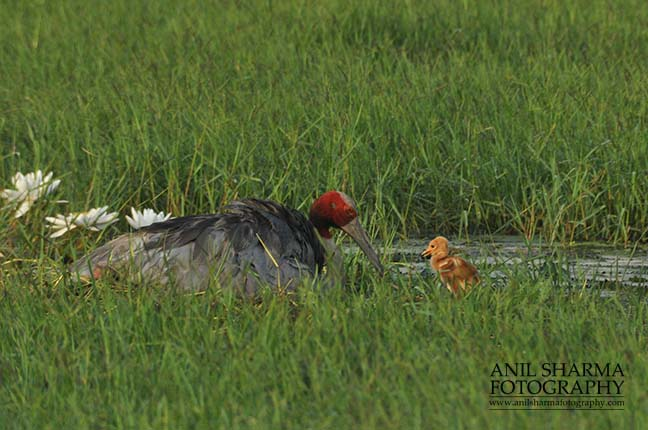 Birds- Sarus Crane (Grus Antigone) - Tired Sarus Crane Mom, Grus Antigone (Linnaeus) with her chick at Greater Noida, Uttar Pradesh, India. by Anil
