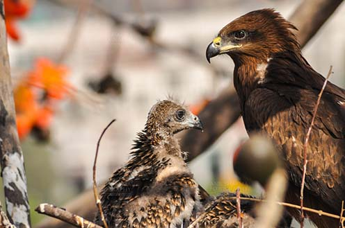 Birds-  Black Kite Milvus migrans (Boddaert) - Listening to Mom's Advice. by Anil Sharma Fotography