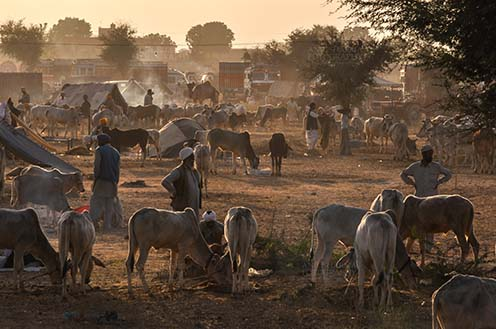Fairs- Nagaur Cattle Fair (Rajasthan) - Nagaur, Rajasthan, India- Febuary 10, 2011: Sunset time, farmers with their families cattles and bullcarts at the Nagaur cattle fair, Nagaur, Rajasthan (India). by Anil