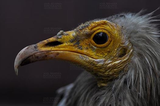 Egyptian vulture, Aligarh, Uttar Pradesh, India- January 21, 2017:  Close-up of an Egyptian Vulture with dark background at Aligarh, Uttar Pradesh, India.