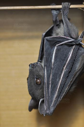 Indian Fruit Bats (Pteropus giganteus) Noida, Uttar Pradesh, India- January 19, 2017: Side pose of an Indian fruit bat photographed in a captive situation in its typical roosting grooming poses while hanging upside down from a limb at Noida, Uttar Pradesh