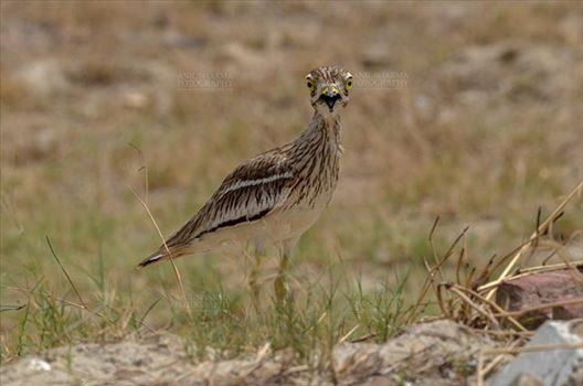 Birds- Eurasian Stone Curlew (Burhinus oedicnemus) - Eurasian stone curlew or stone-curlew (Burhinus oedicnemus) at Noida, Uttar Pradesh, India- June 18, 2017: A Female Eurasian stone guarding her nest at Noida, Uttar Pradesh, India.