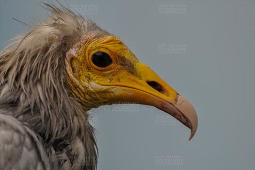 Birds- Egyptian Vulture (Neophron percnopterus) - Egyptian vulture, Aligarh, Uttar Pradesh, India- January 21, 2017: Close-up of an adult Egyptian Vulture with blue background at Aligarh, Uttar Pradesh, India.