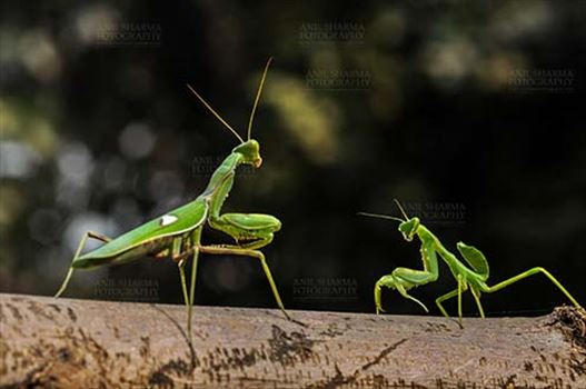 Insect- Praying Mantis - Side view of two Praying Mantis,  Mantodea (or mantises, mantes)  in playful mood on a tree branch at Noida, Uttar Pradesh, India.