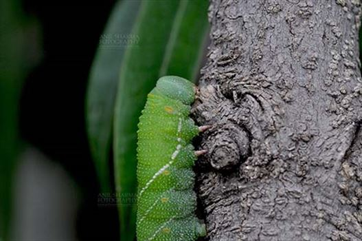Insects- Caterpillar - Noida, Uttar Pradesh, India- July 27, 2016: A big green caterpillar on a tree branch at Noida, Uttar Pradesh, India.