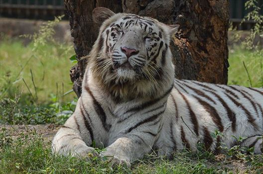 White Tiger, New Delhi, India- April 3, 2018: Portrait of a White Tiger (Panthera tigris) relaxing under a tree at New Delhi, India.