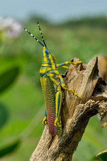 An Indian Painted Grasshopper, Poekilocerus Pictus, sitting on a on a dry tree branch at Noida, Uttar Pradesh, India.