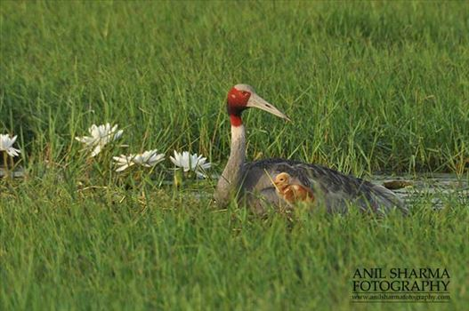 Birds- Sarus Crane (Grus Antigone) - Mom Sarus Crane, Grus Antigone (Linnaeus) with chick at Greater Noida, Uttar Pradesh, India.