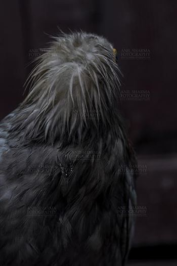 Egyptian vulture, Aligarh, Uttar Pradesh, India- January 21, 2017:  Back pose of an adult Egyptian Vulture lwith dark background at Aligarh, Uttar Pradesh, India.