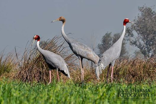A Sarus Crane family, Grus Antigone (Linnaeus) at Dhanauri wetland, Greater Noida, Uttar Pradesh, India.