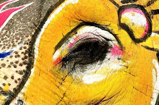 Festivals- Holi and Elephant Festival (Jaipur) - Eye of a decorated Elephant at Holi and Elephant Festival at jaipur, Rajasthan (India).