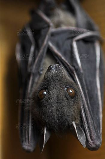 Indian Fruit Bats (Pteropus giganteus) Noida, Uttar Pradesh, India- January 19, 2017: An Indian fruit bat hangs with wings folded at Noida, Uttar Pradesh, India.