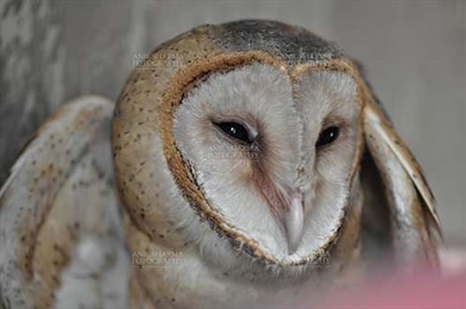 Barn Owl Tyto Alba (Scopoli) showing eyes and beak, Noida, Uttar Pradesh, India