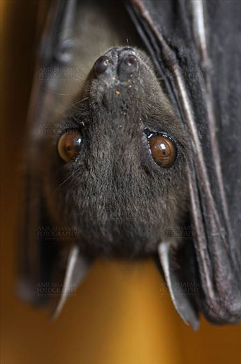 Indian Fruit Bats (Pteropus giganteus) Noida, Uttar Pradesh, India- January 19, 2017: Close-up of an Indian fruit bat hanging upside down showing big eyes at Noida, Uttar Pradesh, India.