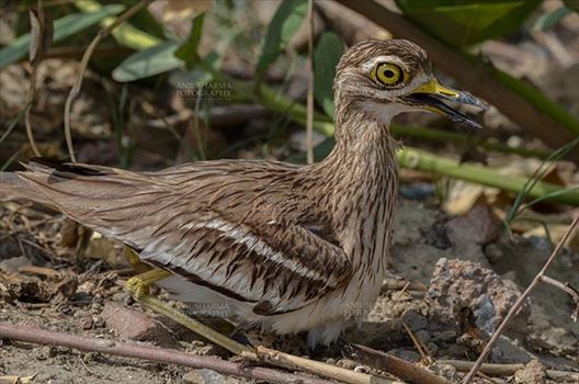 Eurasian stone curlew or stone-curlew (Burhinus oedicnemus) at Noida, Uttar Pradesh, India- June 19, 2017: A Female Eurasian stone sitting on her eggs at Noida field, Uttar Pradesh, India.