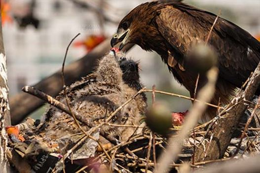 Black Kite Mom feeding raw meat to her chick.