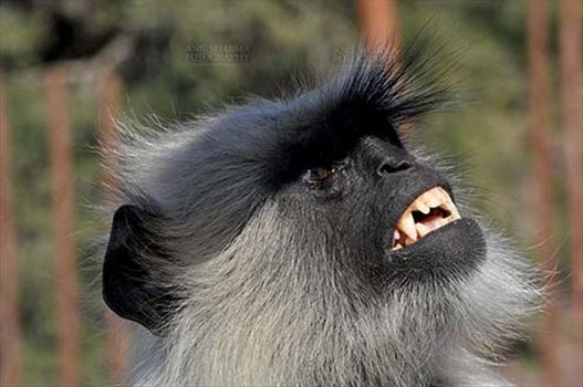 Wildlife- Gray or Common Indian Langur (India) - Close-up of a black footed Gray Langur's (Semnopithecus hypoleucos) in angry mood at Bhopal, Madhya Pradesh, India.