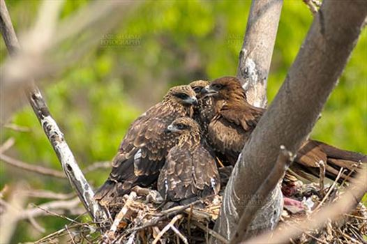 Birds-  Black Kite Milvus migrans (Boddaert) - Young Black Kite chicks with Mom.