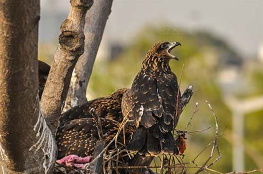 Birds-  Black Kite Milvus migrans (Boddaert) - Hungry black kite chick calling Mom !!!!