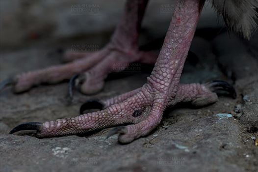 Egyptian vulture, Aligarh, Uttar Pradesh, India- January 21, 2017:   Close-up of an Egyptian Vulture's feet, Aligarh, Uttar Pradesh, India.