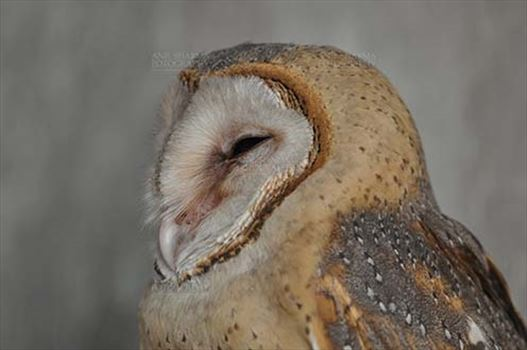 A close up portrait of praying Barn Owl Tyto Alba (Scopoli) watching left, Noida, Uttar Pradesh, India.