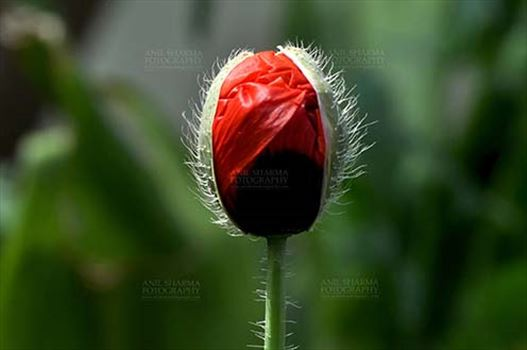 Flowers- Poppy Flowers (Papaver oideae) - One species of poppy flowering plant Papaver somniferum, produces seeds  which contains medicinal alkaloids such as morphine.