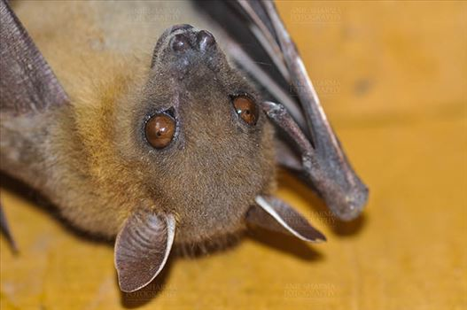 Indian Fruit Bats (Pteropus giganteus) Noida, Uttar Pradesh, India- January 19, 2017: Close-up of an Indian fruit bat hanging upside down showing face detail at Noida, Uttar Pradesh, India.