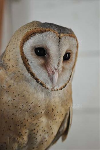 A close up portrait of Barn Owl Tyto Alba (Scopoli) watching at right showing eyes and beak, Noida, Uttar Pradesh, India.