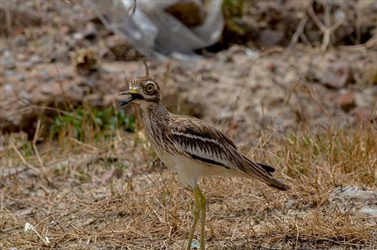 Eurasian stone curlew or stone-curlew (Burhinus oedicnemus) at Noida, Uttar Pradesh, India- June 18, 2017: An alert Female Eurasian stone in the dry grass land guarding her nest at Noida, Uttar Pradesh, India.