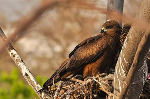 Birds-  Black Kite Milvus migrans (Boddaert) - Close-up of Black Kite Mom.