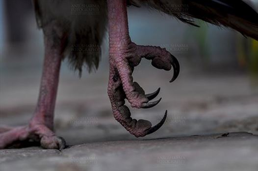 Egyptian vulture, Aligarh, Uttar Pradesh, India- January 21, 2017:  Close-up of an Egyptian Vulture's feet at Aligarh, Uttar Pradesh, India.