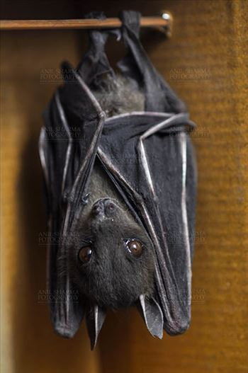 Indian Fruit Bats (Pteropus giganteus) Noida, Uttar Pradesh, India- January 19, 2017: Indian fruit bat captive roosting/grooming pose while hanging upside down from a limb at Noida, Uttar Pradesh, India.