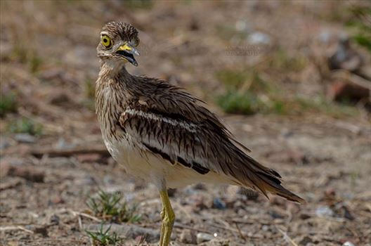 Birds- Eurasian Stone Curlew (Burhinus oedicnemus) - Eurasian stone curlew or stone-curlew (Burhinus oedicnemus) at Noida, Uttar Pradesh, India- June 19, 2017: A Female Eurasian stone guarding her nest at Noida, Uttar Pradesh, India.