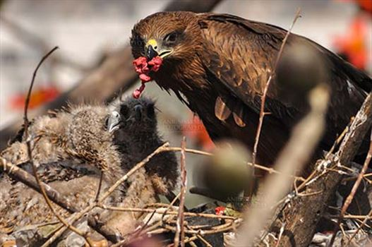 Mom black kite feeding raw meat to her chicks.