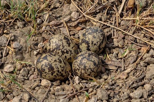 Eurasian stone curlew or stone-curlew (Burhinus oedicnemus) at Noida, Uttar Pradesh, India- June 19, 2017: Eurasian stone's four eggs in nest at Noida field, Uttar Pradesh, India.