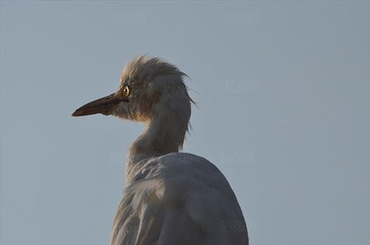 Noida, India- October 13, 2015: Cattle Egret (Bubulcus ibis) close-up of head during breeding season with orange pullme on its head and back at Noida, Uttar Pradesh, India.